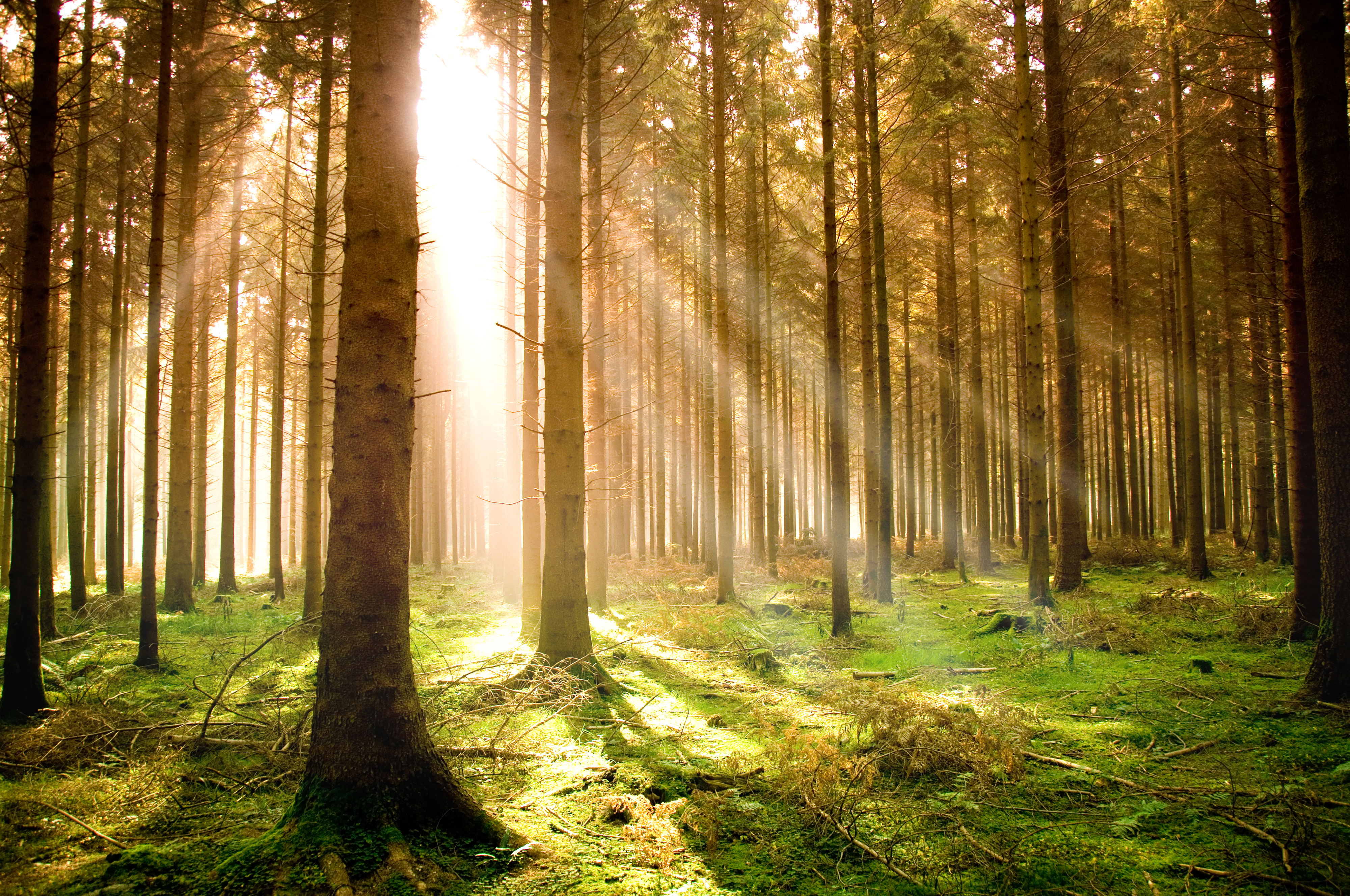 Light in pine forest